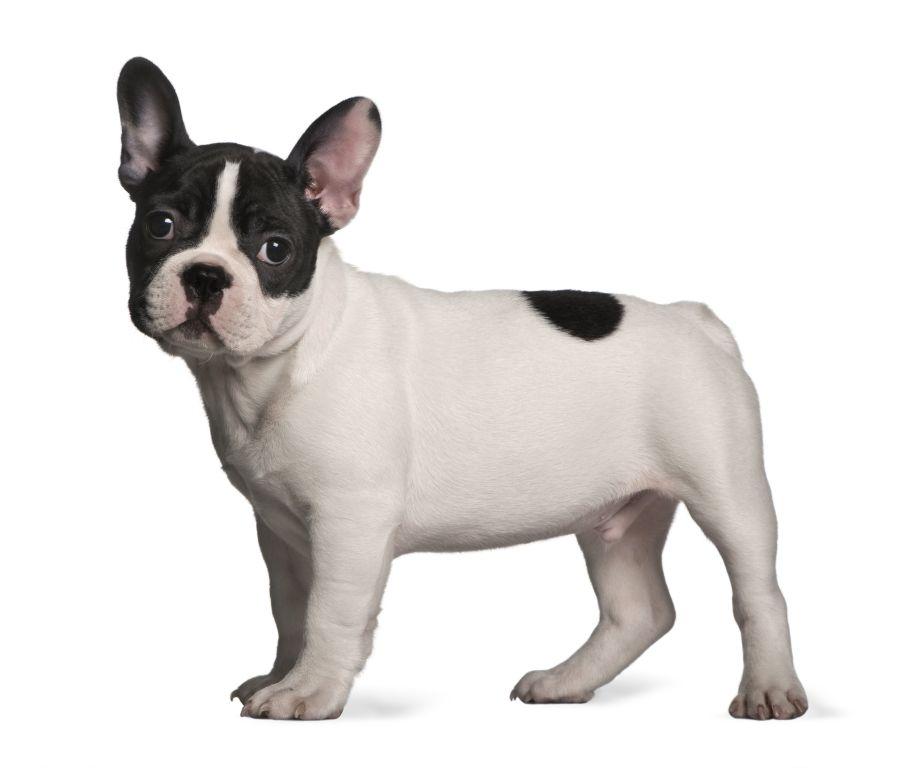 Drei Monate alte Französische Bulldogge