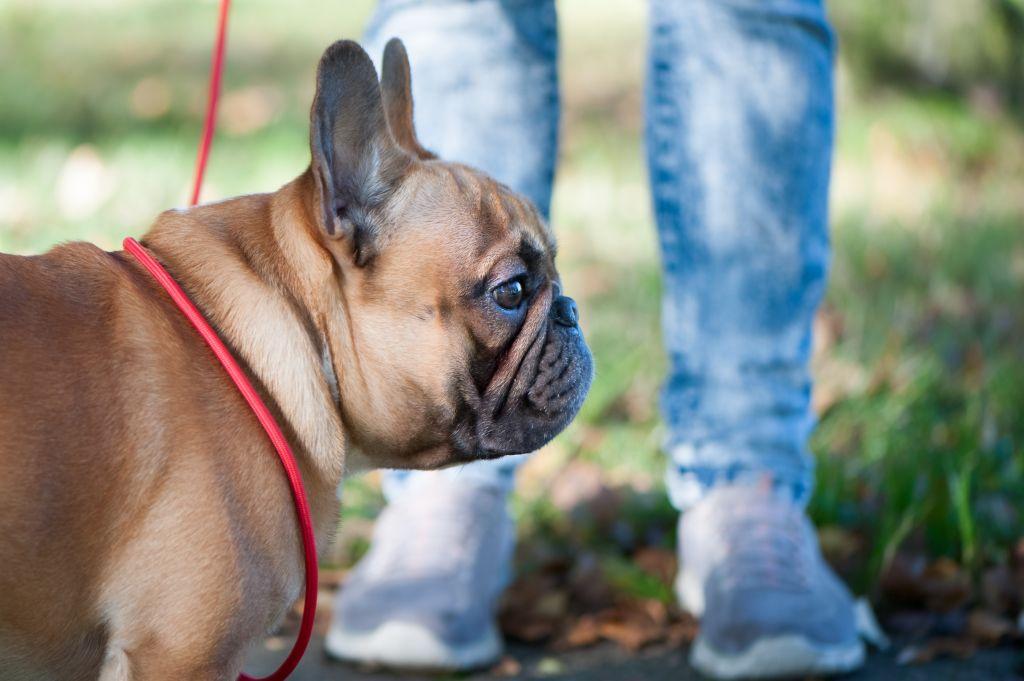 Der Bully braucht tägliche Spaziergänge, es müssen aber keine Gewaltmärsche sein