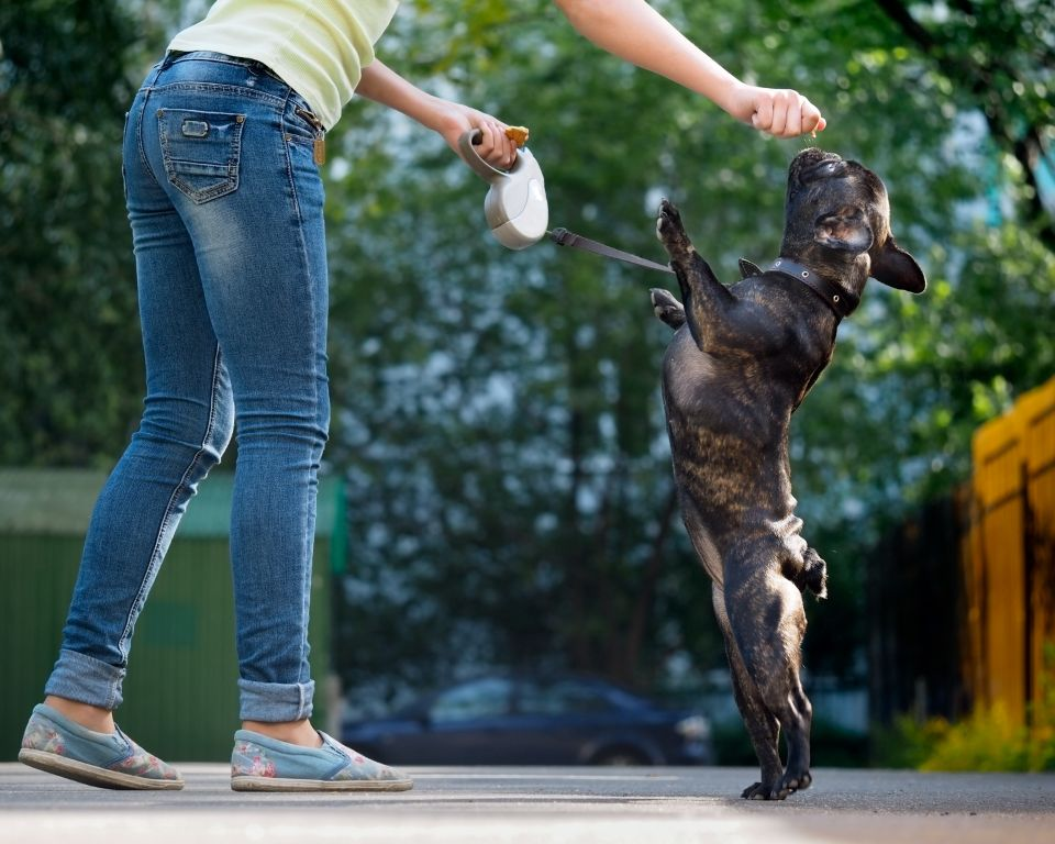 Französische Bulldogge erhält eine Belohnung
