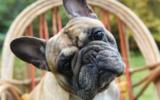 Die Gesichtsfalten der Französischen Bulldogge müssen intensiv gepflegt werden