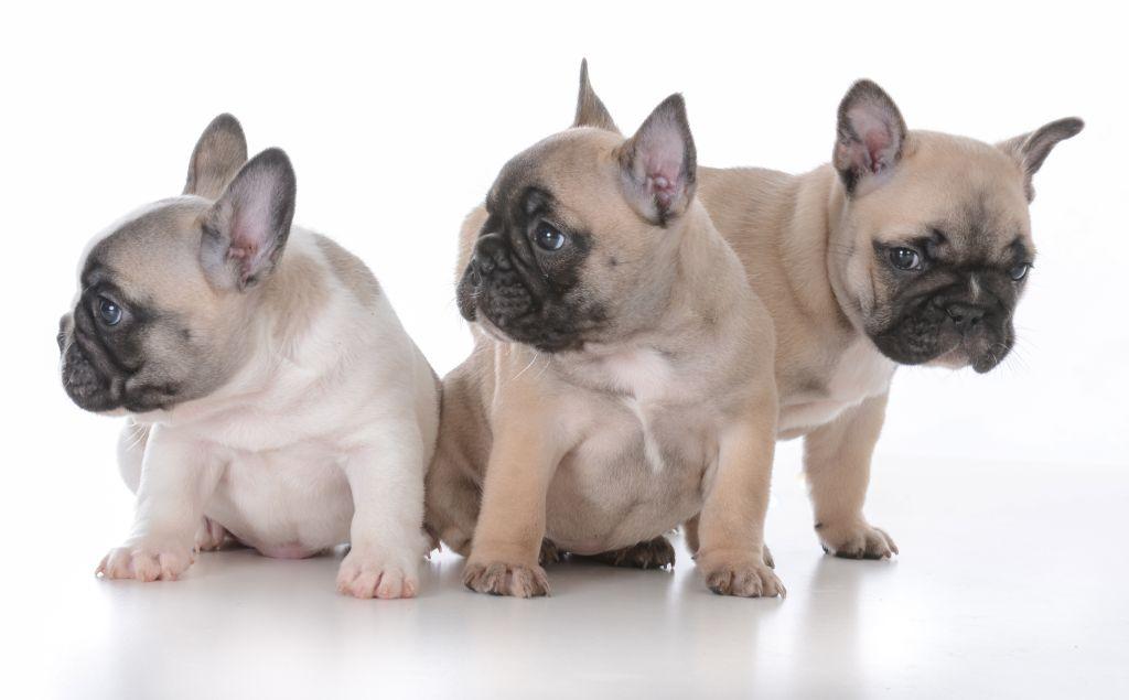 Der überdimensionierte Kopf der Französischen Bulldogge sorgt schon bei der Paarung und der Geburt für Probleme