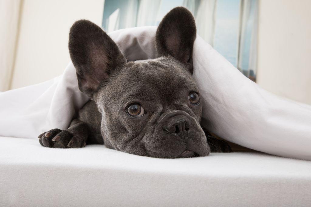 Franzosischen Bulldogge Krankheiten Franzosische Bulldogge Abc