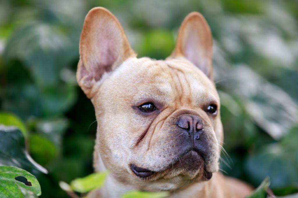 Kopf und Gesicht einer Französischen Bulldoge mit den charakteristischen Merkmalen