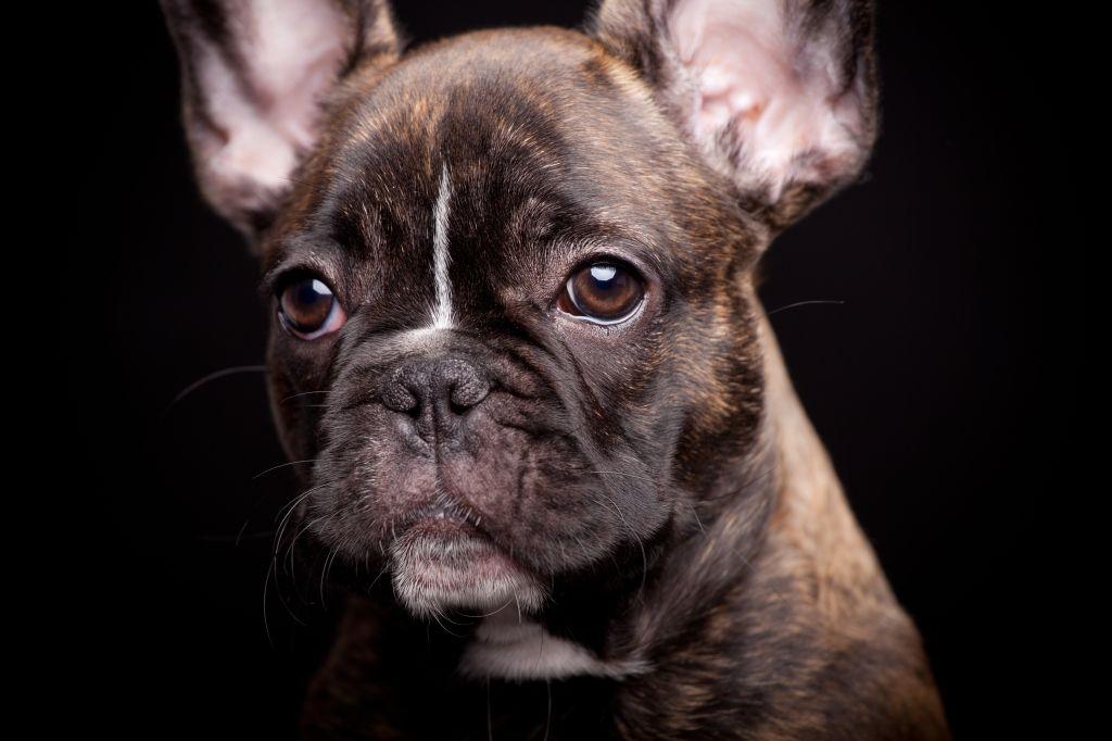 Auch wenn die Französischen Bulldoggen sehr ernst schauen, sind sie sehr fröhliche Hunde