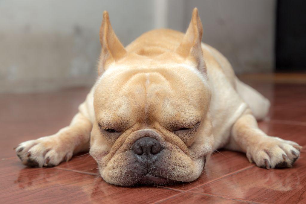 Eine Französische Bulldogge bewahrt meistens in allen Lebenslagen Gelassenheit