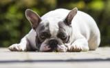 Alte Französische BulldoggeAlte Französische Bulldogge