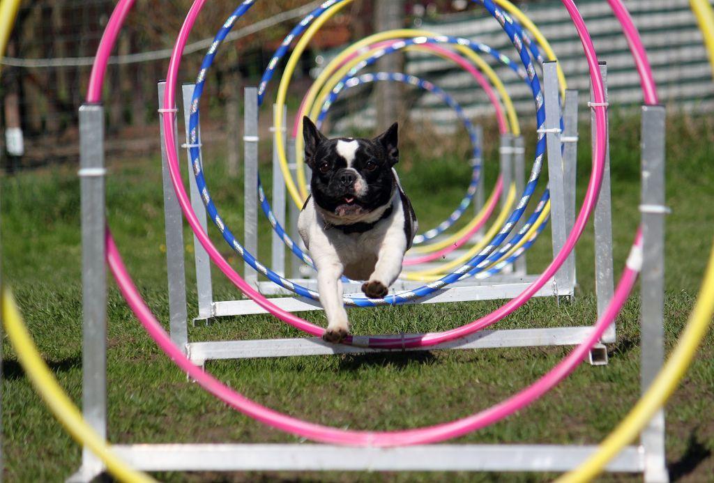 Hat der Bully bislang Hundesport betrieben, sollte er auch im Alter damit weitermachen