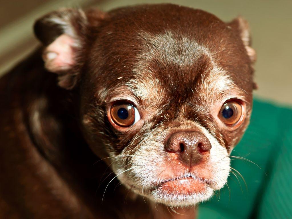 Chihuhua-Bully-Mischlinge sind im Normalfall viel lebhafter als reinrassige Französische Bulldoggen