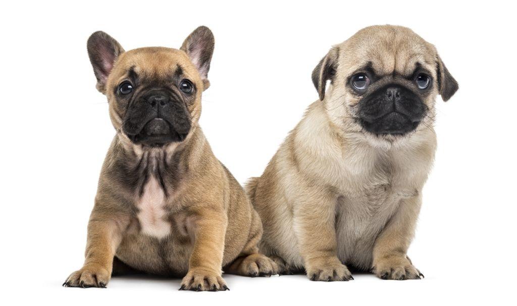 Aus Französischer Bulldogge und Mops entstehen Frops. Hier muss darauf geachtet werden, dass die Nasen nicht zu kurz geraten