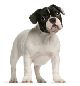 Die Ohren der Französischen Bulldogge dürfen nicht hängen