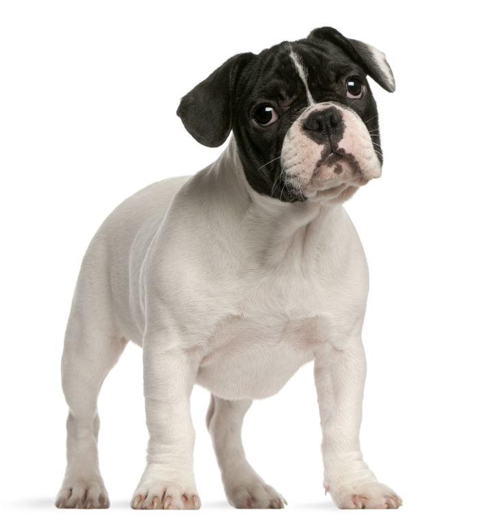 Französische Bulldogge: Mischlinge alles, was Sie wissen