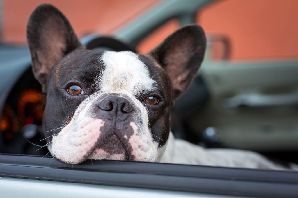 Unterwegs braucht die Französische Bulldogge einiges an Reisezubehör