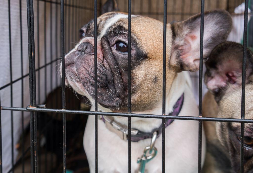 Auch im Tierheim kann man eine Französische Bulldogge kaufen