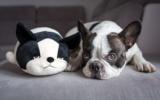 Französische Bulldoggen lieben Spiele und Spielzeuge