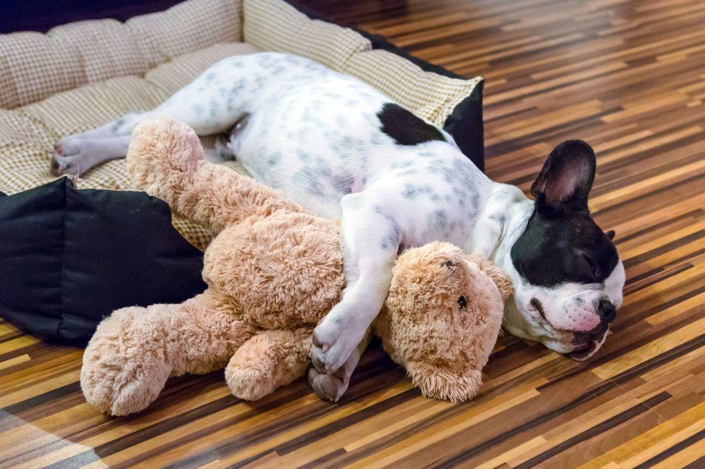 Spielzeug für die Französische Bulldogge sollte unbedingt auch Kuscheltiere umfassen
