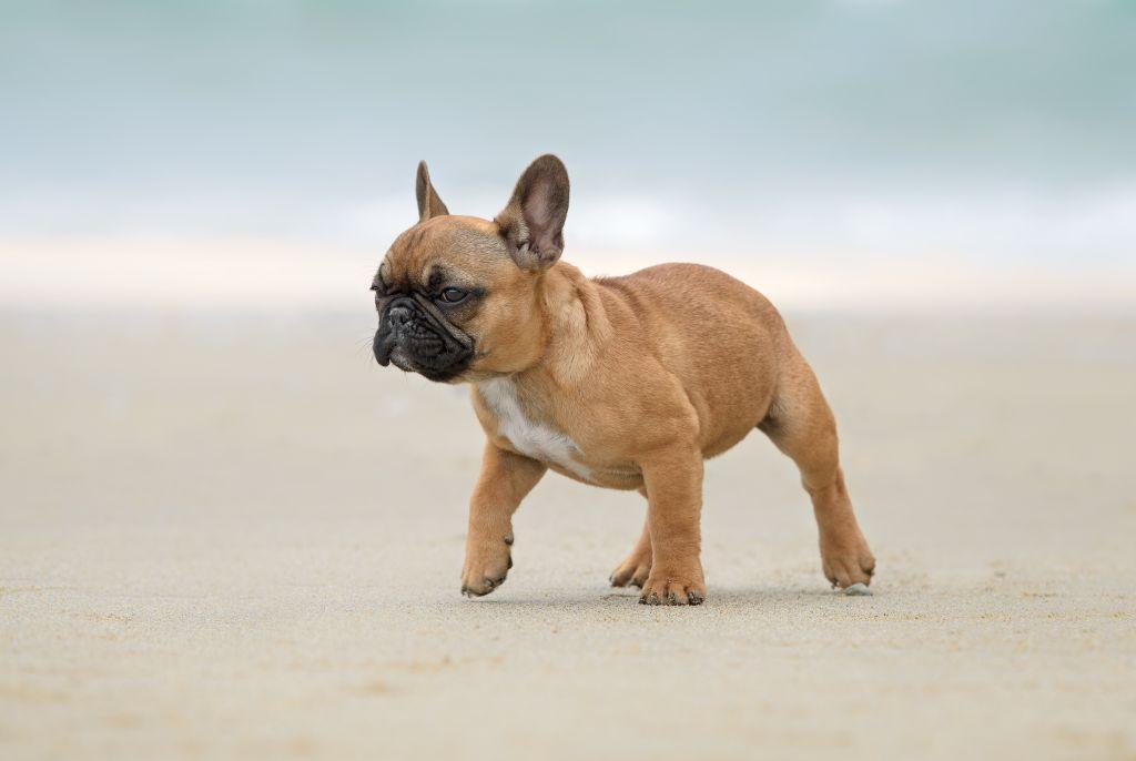 Französische Bulldoggen lieben Aufenthalte am Strand